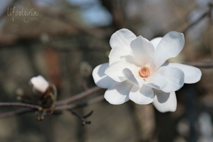 IMG_6100-beautiful-white-magnolia-